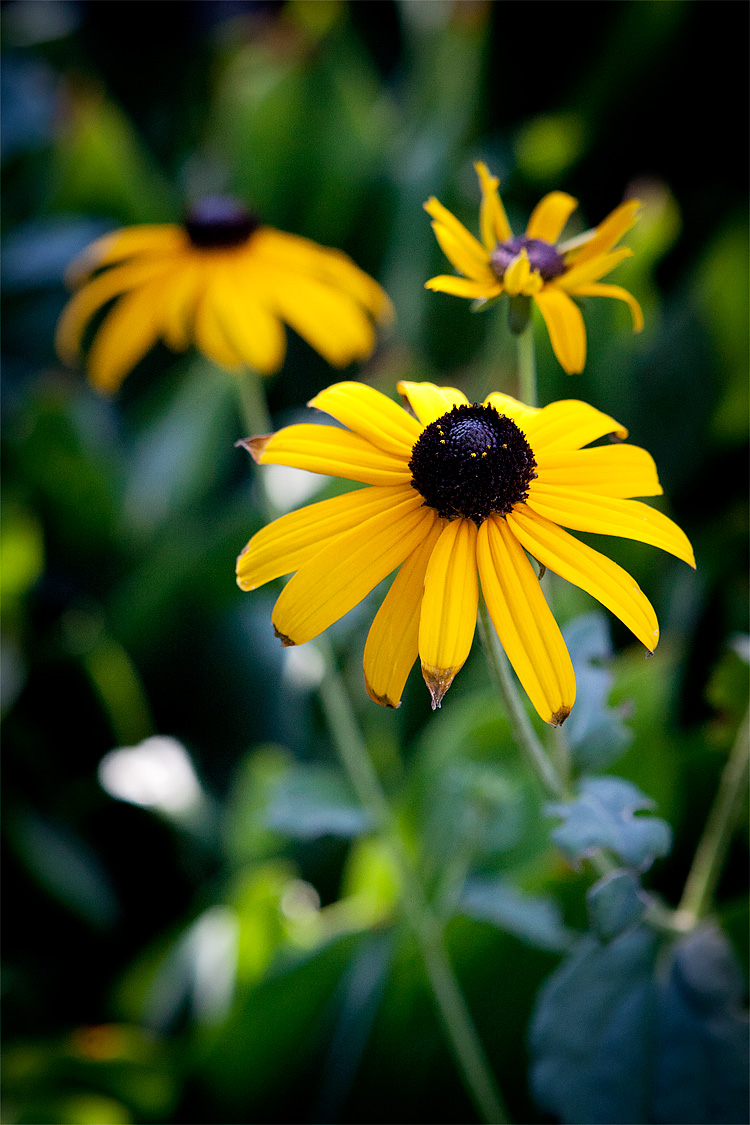 Black Eyed Susan Dooce