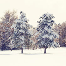two trees in the snow