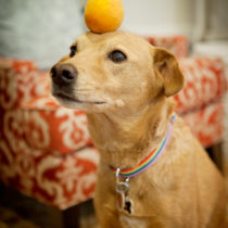Chuck the dog balancing an apricot by Heather Armstrong for dooce.com