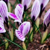 crocus in my yard